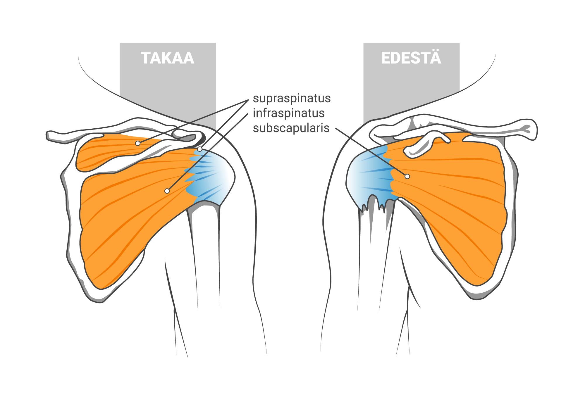 Kiertäjäkalvosimen anatomia edestä ja takaa